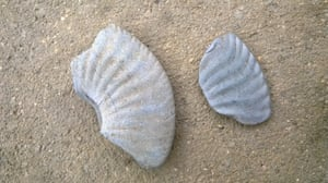 Fragments of the discus-shaped Amaltheus stokesi found at Charmouth