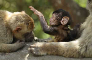 Barbary macaque monkeys play around in the Upper Rock area of the Gibraltar Nature Reserve. They are the only wild monkey population in the European continent