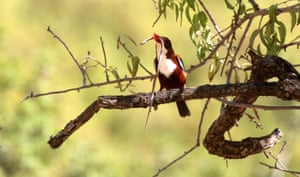 A white-throated kingfisher eating a snake near the West Bank city of Nablus