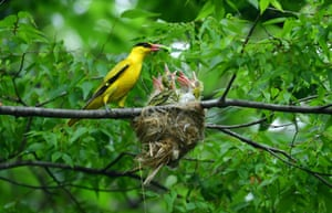 Oriole and chicks
