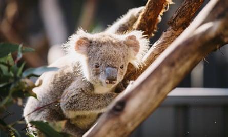 A young koala.
