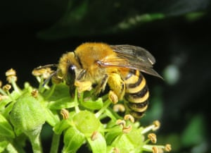 This ivy bee species colonised in the UK in 2001 when it was first recorded in Dorset