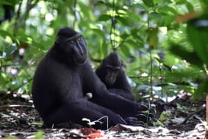 Black crested macaques (Macaca nigra) in the Tangkoko nature reserve in northern Sulawesi. Authorities and activists are stepping up efforts to persuade villagers on Sulawesi island to stop consuming the critically endangered monkeys, one of many exotic creatures that form part of the local indigenous community's diet.