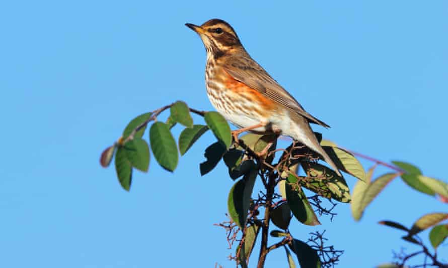 An adult redwing on a branch.