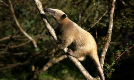 Andy the Anteater at Merazonia wildlife rescue centre in eastern Ecuador.