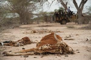 2011年在索马里Dhobley镇外死牛的尸体,当时在该国宣布饥荒。