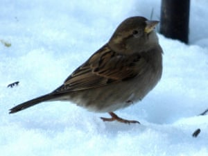 One cold footA young house sparrow tucks one leg up into it's feathers to have a scratch and a warm up