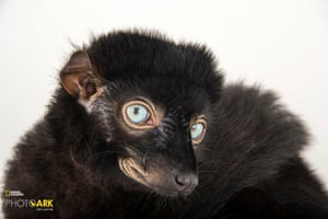 A blue-eyed black lemur