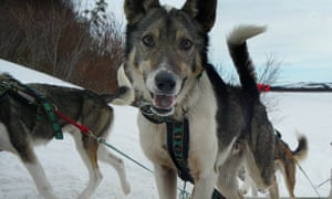 The race began testing sled dogs for banned substances in 1994.