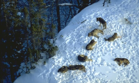 Gray wolves resting after a meal on Isle Royale, Michigan