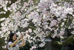 Lucy Lu, a student from China, takes a photograph under a blossom covered tree in St James' Park, London