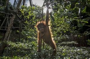 A Baby sumatran orangutan at Sumatran Orangutan Conservation Programme's rehabilitation centre in North Sumatra, Indonesia