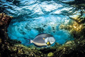 Under Exposed: Saeed Rashid (UK) – Sohal surgeonfish, Fury Shoals, Red Sea, Egypt