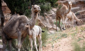 Campsite companions, camels and their young.