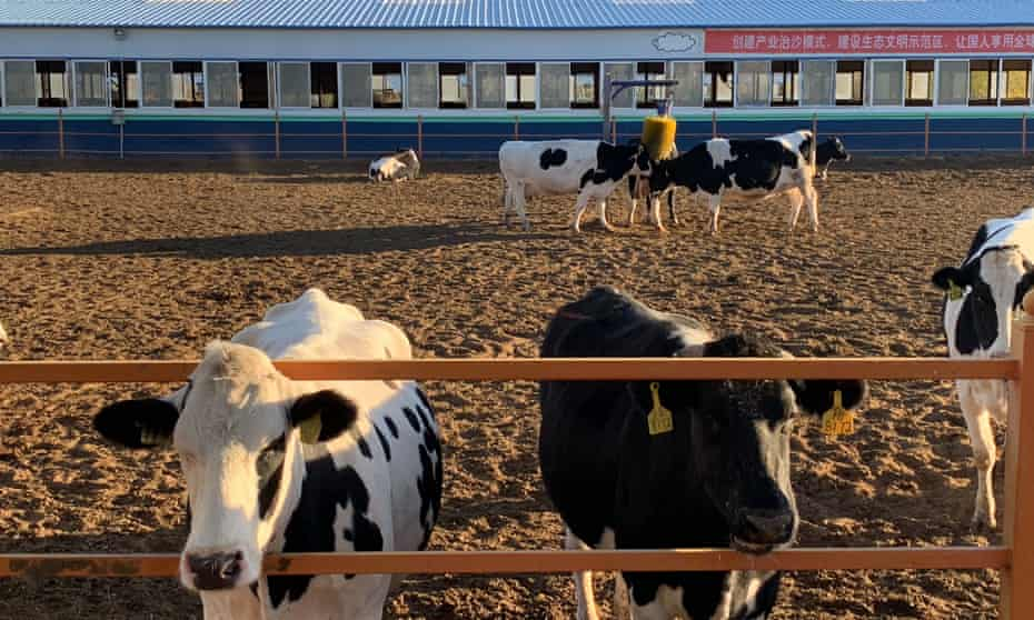 The China Shengmu Organic Dairy in Inner Mongolia.