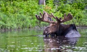 A bull moose, seen in Canada.