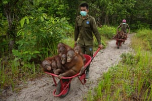 End of the line?Rescue centres such as this one in Ketapang, West Kalimantan, reported a huge influx of orphan orangutans as a result of the fires in 2015. The caretakers do a magnificent job, here taking a barrow-full of one- and two-year-old Bornean orangutans to play in the forest, where they will learn some of the basic skills of survival.