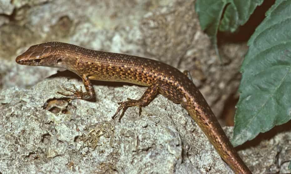 The Christmas Island forest skink is the first reptile known to have gone extinct in Australia since European colonisation.