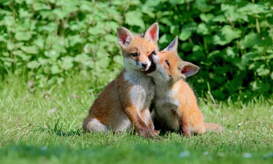 Two red fox cubs at play in southern England.