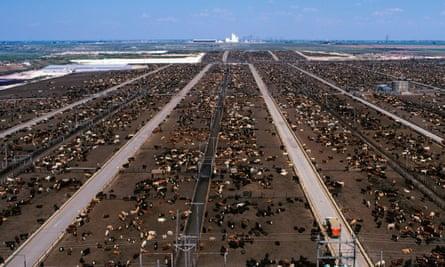 A beef feedlot in Texas.