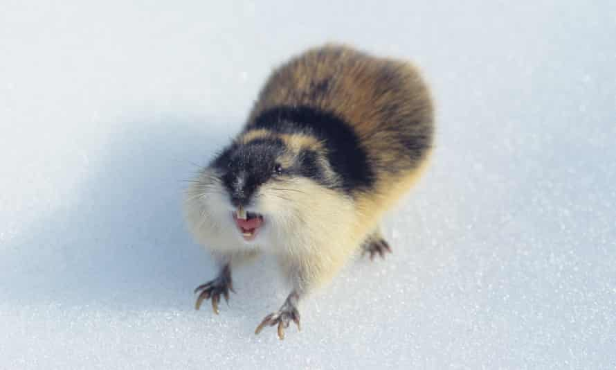 The fearless Norwegian lemming