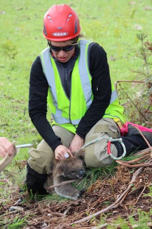 Cape Otway catch team secures another koala for health checks.