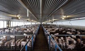 Young pigs at a North Carolina farm