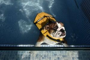 A bulldog wearing a life-vest enjoys a paddle