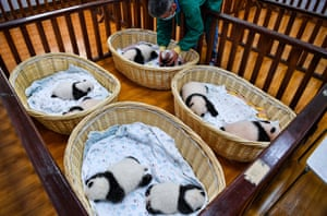 Panda cubs born this year rest at a breeding room of Shenshuping giant panda base in Wolong National Nature Reserve in China.
