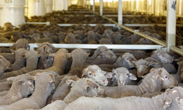 'Floating feedlots': animals spending weeks at sea on ships not fit for purpose