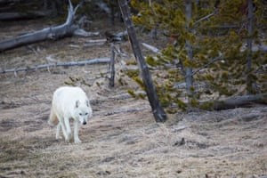 A female white wolf, a member of the Canyon pack in Yellowstone national park in Montana