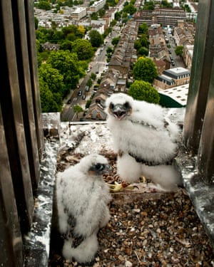 Peregrine falcon chicks at nesting in London.