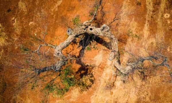 Stricken olive tree
