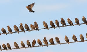 'You will not see them lining up in rows' ... starlings perched in a line.