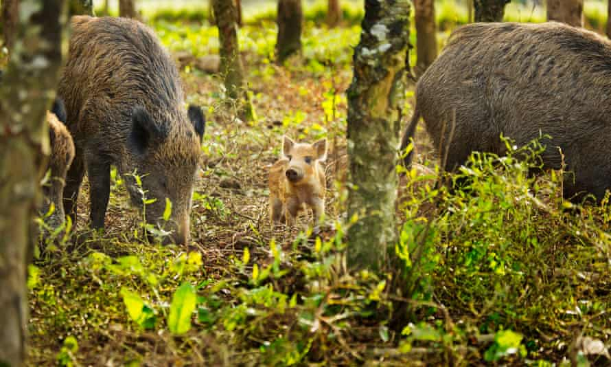 Iron-age pigs and piglet at Coombeshead