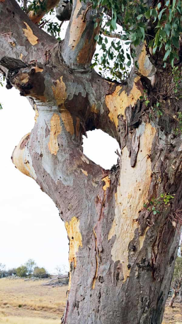 A tree showing signs of human interaction in Namadgi