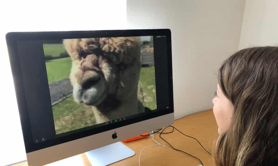 Woman watches alpaca on screen