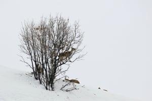 A wild goat in the Seytan mountains in Bingöl, Turkey