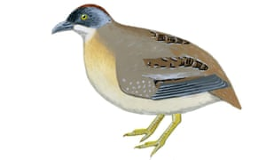 A sketch of the buff-breasted button-quail, one of Australia's rarest birds.