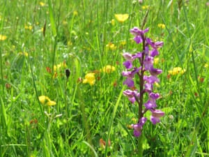 Close-up of a green-winged orchid in a meadow