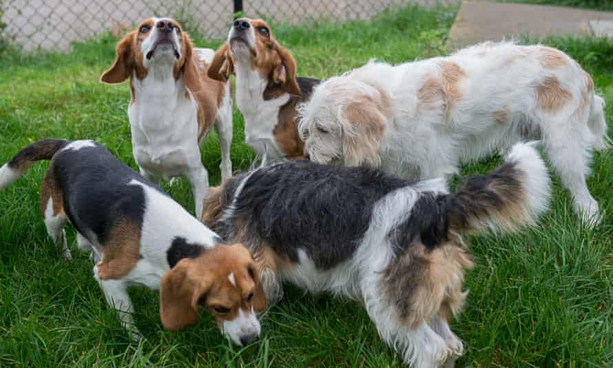 The specially bred beagles at the Royal Veterinary College.