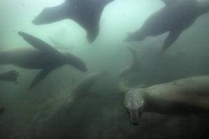Sea lions swim near the Palomino Islands off the coast of Lima, Peru