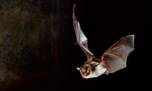 A Daubenton's bat in flight.