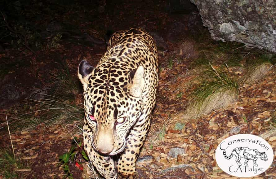 El Jefe has been photographed repeatedly by remote sensor cameras in the Santa Rita mountains in Arizona over the past few years.