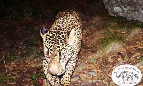 Trump's border wall construction threatens survival of jaguars in the US