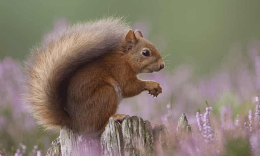 Red squirrel in flowering heather, Inshriach Forest, Scotland.