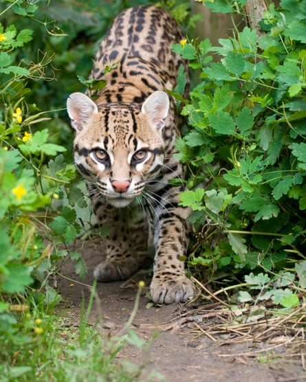 A shy ocelot prowling in the undergrowth. Pictured at the Santago rare leopard breeding centre.