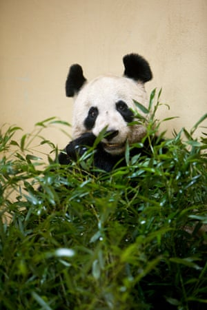 "Tian Tian (""Sweetie""), the female, who lives in an enclosure adjoining Yang Guang's"