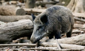 A wild boar in woods near Saint-Hubert, Belgium. Recent ASF outbreaks in the country's wild boar population are now under control.