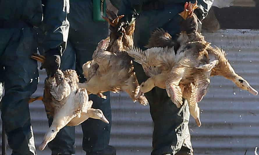 The operation is part of mass cull of poultry in France, which has reported 95 outbreaks of the H5N8 bird flu virus.
